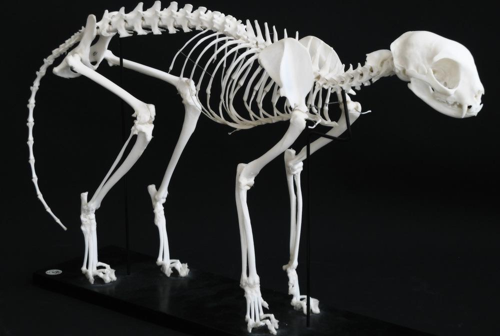 Как устроен скелет кошки