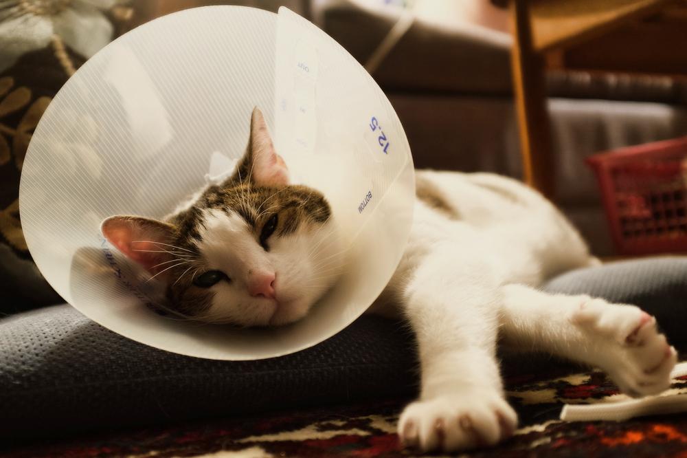 Воротник для кошек и его назначение